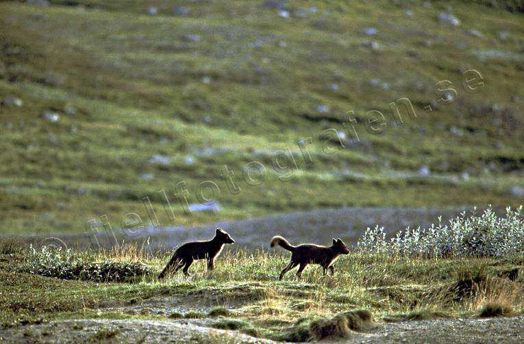 animals, arctic fox, arctic fox pupies, fox, game, kid, kidding, mammals, mountains, play, playing, prank, puppies