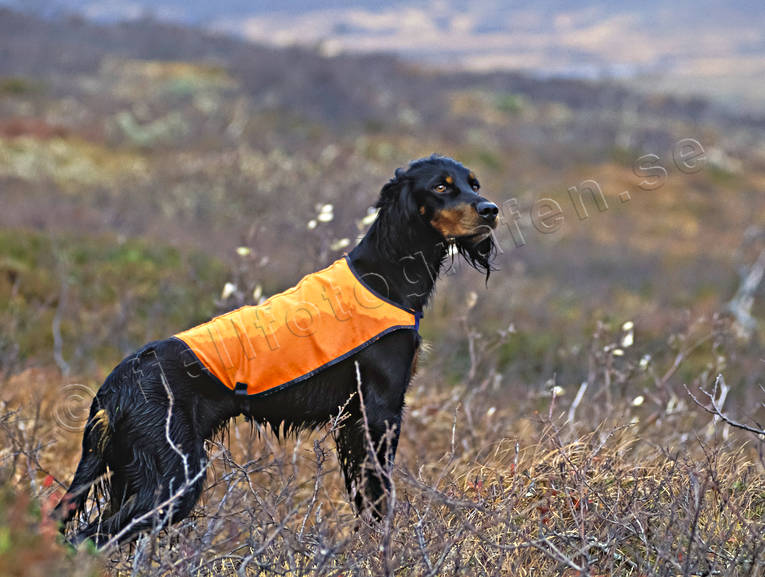 animals, bird dog, bird dogs, bird hunting, dog, dogs, hunting, mammals, pointing dog, white grouse hunt