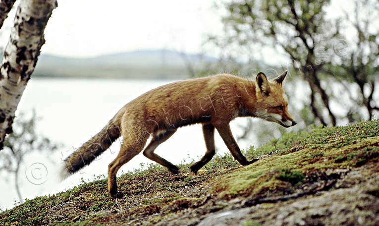 animals, creep, fox, fox, hill, mammals, mountain lake, red fox