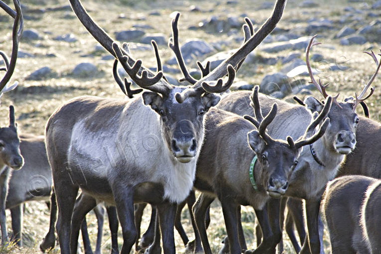 animals, autumn, autumn separation, culture, Lapland, mammals, mountain, reindeer, reindeer herd, reindeer horn, reindeer husbandry, reindeer husbandry, reindeer separation, saami person, sami culture, work