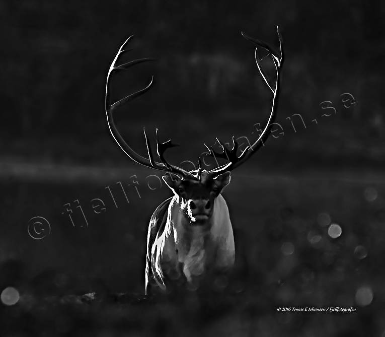 animals, backlight, black-and-white, canvastavla, evening, evening light, fototavla, mammals, mountain, reindeer, reindeer, reindeer bull, reindeer ox, s/v, tavla