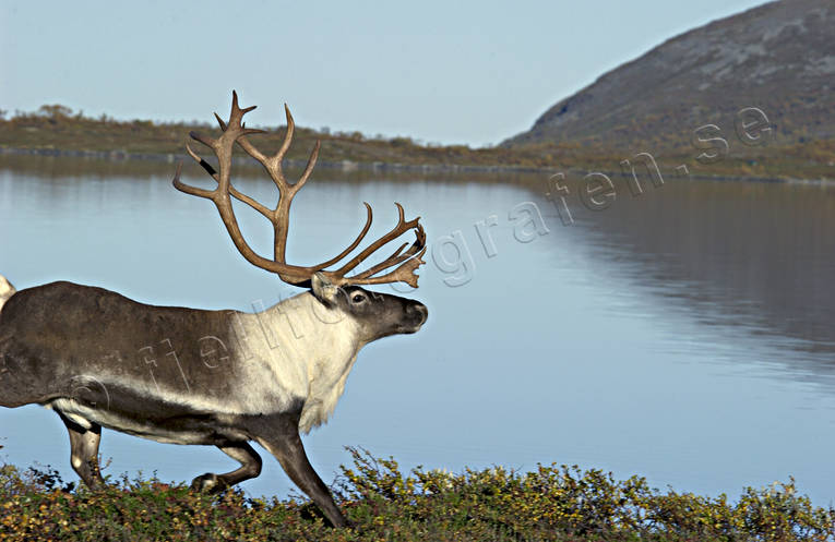 animals, deer animals, mammals, mountain, reindeer, reindeer, reindeer bull, reindeer ox