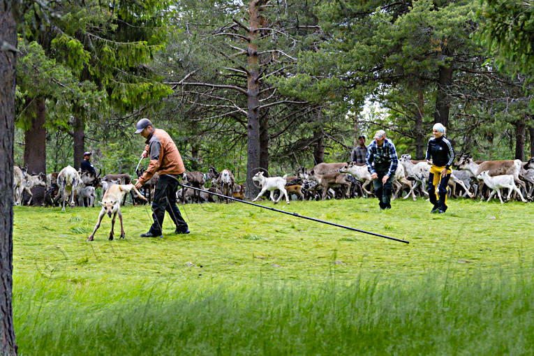 calf tagging, culture, reindeer, reindeer husbandry, reindeer separation, rengärda, saami people, sami culture, summer, work
