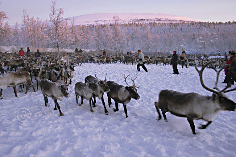 animals, culture, mammals, mountain, reindeer, reindeer husbandry, sami culture, work
