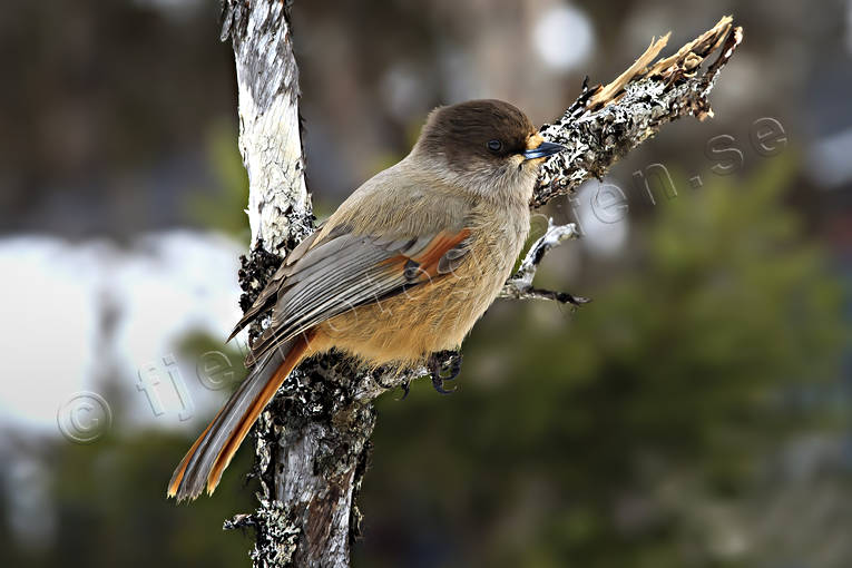 animals, bird, birds, corvids, kråkfågel, little bird, siberian jay, siberian jays, small birds