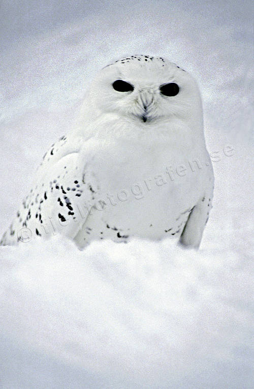 animals, birds, owl, owls, snow, snowy owl