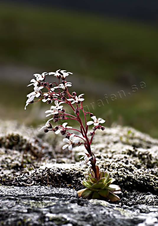 alpine flowers, biotope, biotopes, bridal veil water falls, flowers, mountain, mountain nature, mountains, nature, plants, herbs, sacred, saxifraga cotyledon, southside seedling