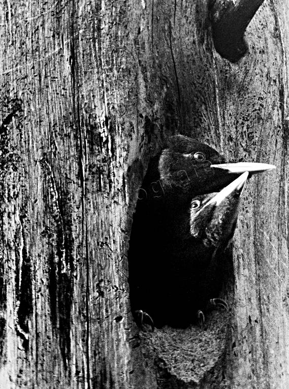animals, birds, black woodpecker, black-and-white, nest, piciformes, tree, woodpecker, woodpeckers