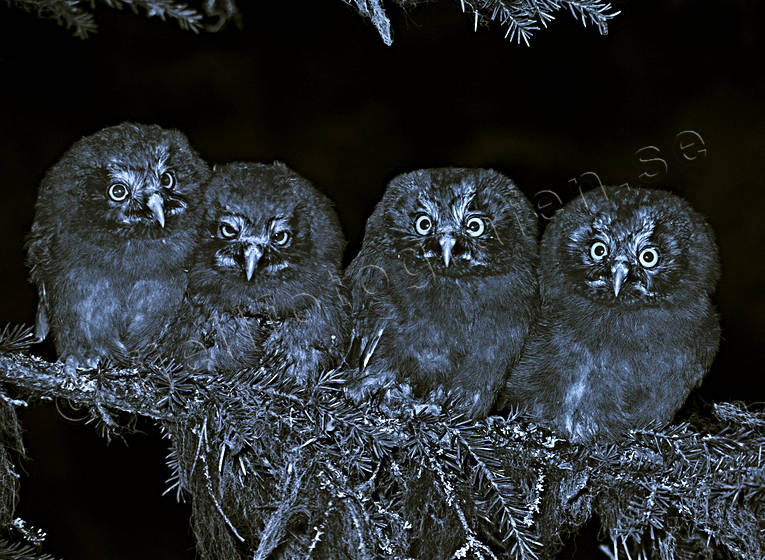 animals, bird, bird of prey, birds, black-and-white, company, kids, night, owl, owlets, owls, raptors, tengmalm, tengmalm kid, tengmalm kids, tengmalms