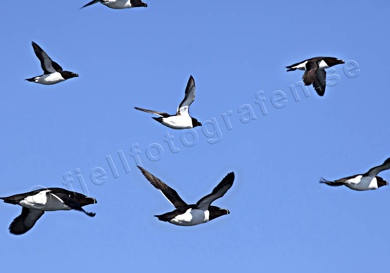 alker, animals, auks, bird, birds, ducks, sea bird, Tordmule