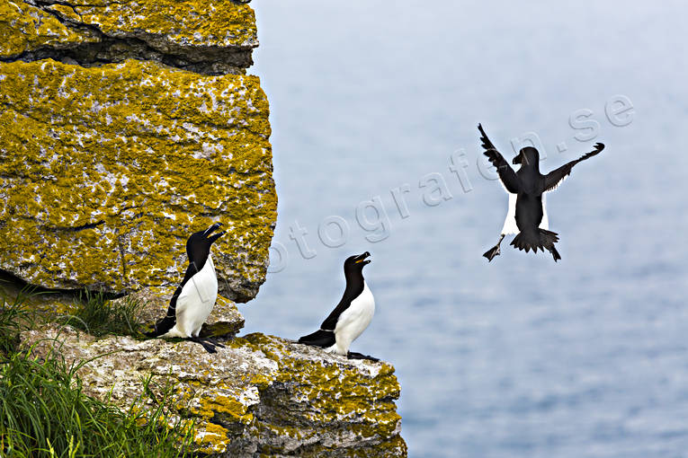 Alca torda, alka, alker, animals, auks, bird, birds, Landskap, sea bird, sea birds, Stor Karlsö, Tordmule