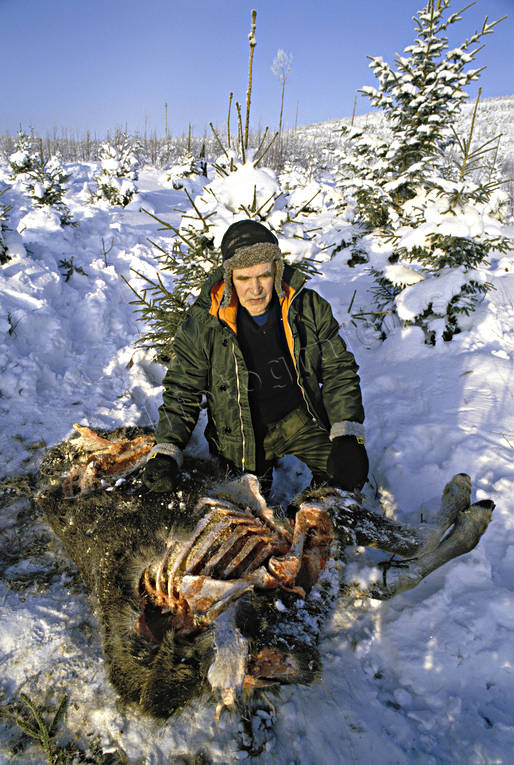 animals, bergstrand, cadavers, game, mammals, moose, moose, predators, prey, torn down by wolf, trapper, ulv, wolf, wolf, wolves