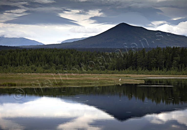 animals, Bear lake, birds, forest tarn, Herjedalen, landscapes, Lunndorrsfjallen, mountain, mountain forest, mountain lake, Storadorren, summer, swan, swans, whooper swan, whooper swans