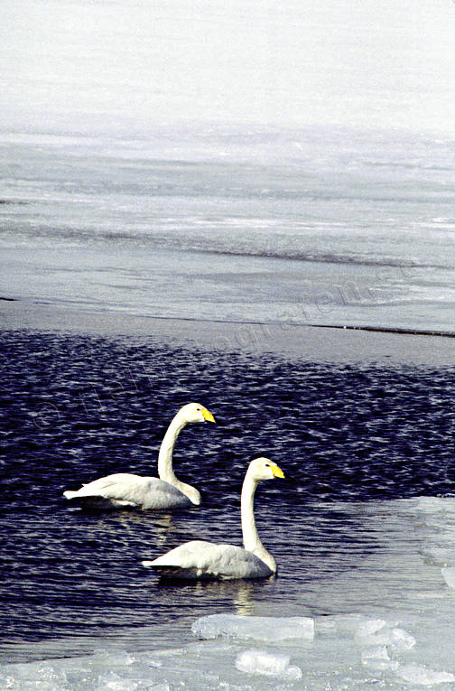 animals, birds, swan, swans, whooper swan, winter