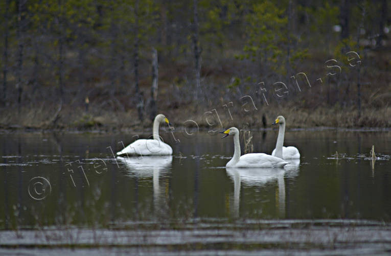 animals, birds, forest tarn, swan, swans, whooper swan, whooper swans