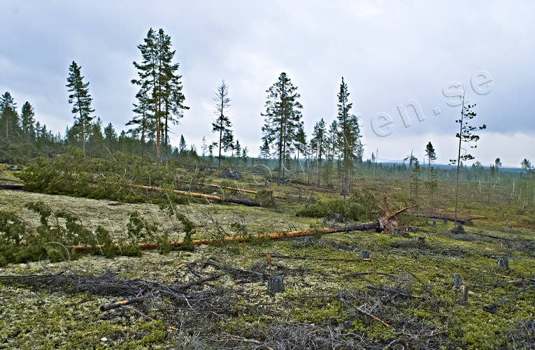 biotope, biotopes, environment, forestry, forests, nature, pine, pine forest, pines, storm, storm, windthrown, windthrown, windthrown, woodland, work