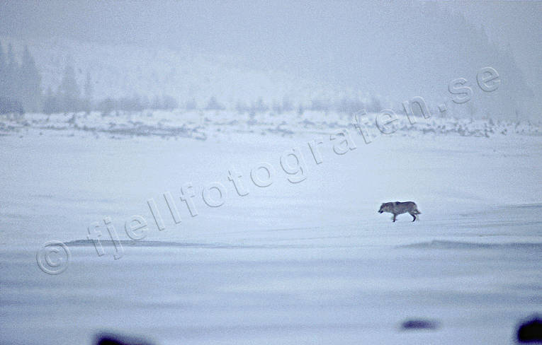 animals, canidae, langawolf, mammals, snow, ulv, wolf, wolf, wolves