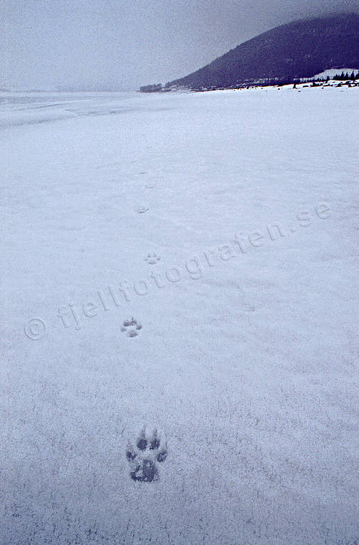 animals, canidae, mammals, tracks, ulv, wolf, wolf, wolf tracks, wolves