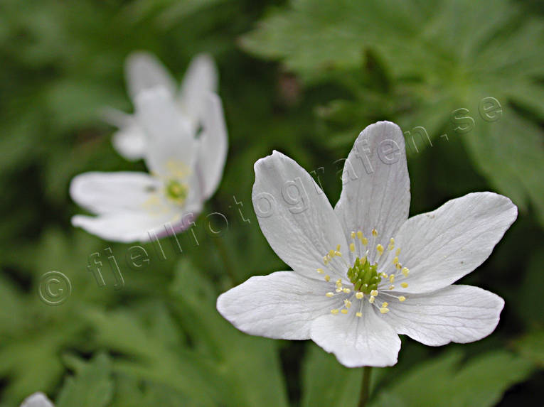 biotope, biotopes, flourishing, flowers, forest land, forests, nature, season, seasons, spring, wood anemone, wood anemones, woodland