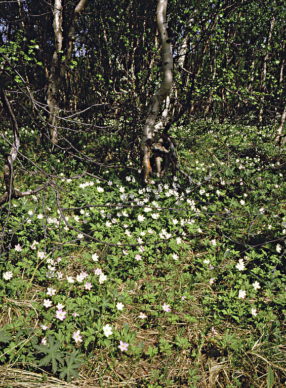 alpine birch, biotope, biotopes, flowers, mountain, mountains, nature, season, seasons, spring, wood anemone, wood anemones
