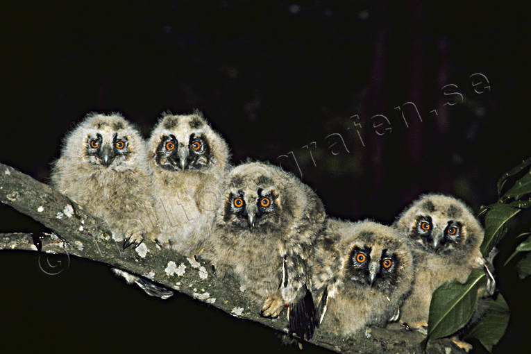 animals, birds, forest troll, kids, long-eared owl, owlets, owls, troll