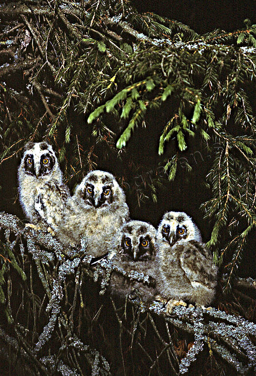 animals, birds, forest troll, kids, long-eared owl, night, owls, troll, young long-eared owlet