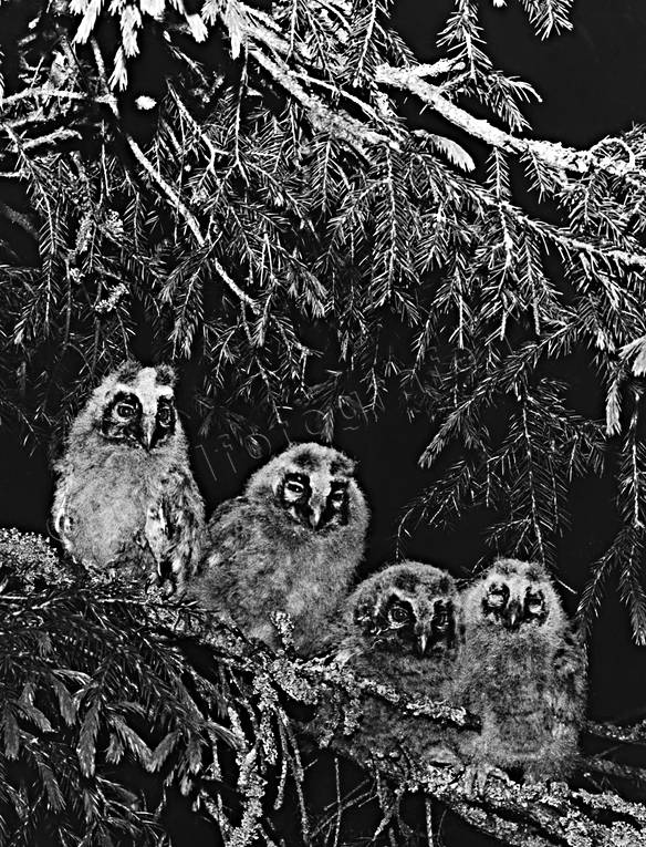 animals, birds, black-and-white, kids, long-eared owls, owlets, owls