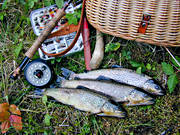 angling, fish, fishing, flyfishing, trout, trouts
