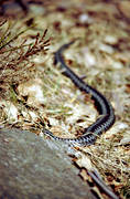 adder, blackadder, viper, animals, reptiles, snake