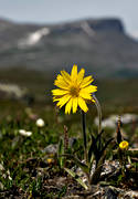 alpine arnica, alpine flower, alpine flowers, arnica angustifolia, biotope, biotopes, flowers, mountain, mountains, nature, plants, herbs