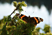 amiral, Amiralfjäril, animals, backlight, butterflies, butterfly, insect, insects