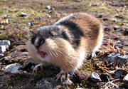 angry, angry, animals, gnawer, lemming, mammals, mountain, norway lemming, rodents
