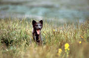 animals, arctic fox, arctic fox pup, den, fox, fox pup, fox puppy, fox's den, mammals, puppy, yawn, yawns
