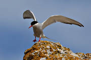animals, bird, birds, gull bird, sea mew bird, gulls, Sterna paradisaea, tern