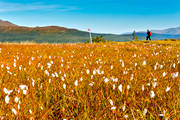 autumn, back-packing, common cotton grass, landscapes, meadowland, mountain, nature, outdoor life, plants, herbs, summer, track, track cross, view, view, wanderer, footer, äventyr