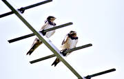animals, antenna, backsvala, backsvalor, birds, little bird, passeriform, passeriformes, small birds, svalor, swallow