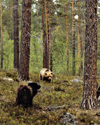 animals, bear, brown bear, dog, dogs, mammals, predators, reindeer herding dog, ursine