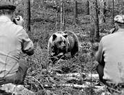 animals, bear, bear shooting, black-and-white, brown bear, mammals, photographing, predators, ursine