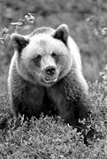 animals, bear, black-and-white, brown bear, close-up, mammals, predators, ursine
