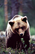 animals, bear, brown bear, close-up, mammals, predators, ursine