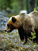 animals, bear, brown bear, mammals, predators, profile, ursine