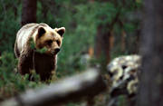 animals, bear, brown bear, mammals, predators, ursine