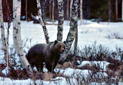 animals, bear, birch, birches, brown bear, mammals, predators, Sonfjället, ursine