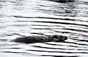animals, beaver, gnawer, mammals, swimming, vatten, water