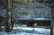 animals, beaver, eats, gnawer, ice fringe, ice edge, mammals, water plants