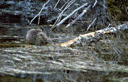animals, beaver, eats, frets, galls, gnawer, mammals, waterside, edge of water