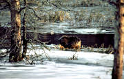 animals, beaver, eats, gnawer, ice fringe, ice edge, mammals