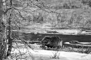 animals, beaver, black-and-white, eats, gnawer, ice fringe, ice edge, mammals