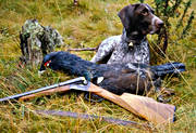 animals, bag, bird hunting, capercaillie, capercaillie cock, capercaillie hunt, dog, dogs, german shorthaired pointer, hunting, mammals, pointing dog