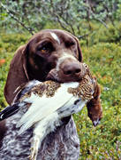 animals, apport, apport, bird dog, bird hunting, dog, dogs, german shorthaired pointer, hunting, mammals, pointing dog, ptarmigan, white grouse hunt